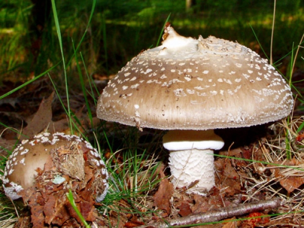 Amanita Pantherina